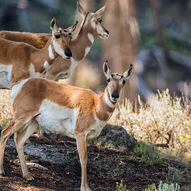 Andres Leon - Young Pronghorn at Yellowstone