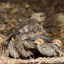 Mom and Baby Quails  by Bryan Keil