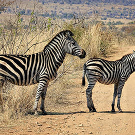 Zebras Crossing by Kim Andelkovic