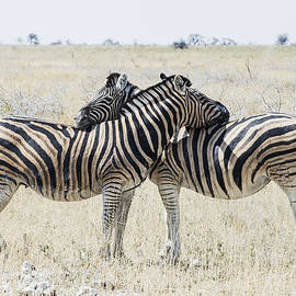 Zebras tenderness by Marco Bottigelli