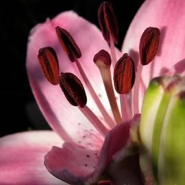 J McCombie - Asiatic Lily named Vermeer