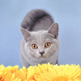 Waldek Dabrowski - British shorthair kitten