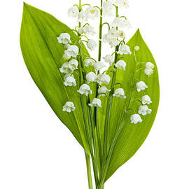 Lily-of-the-valley Flowers by Elena Elisseeva