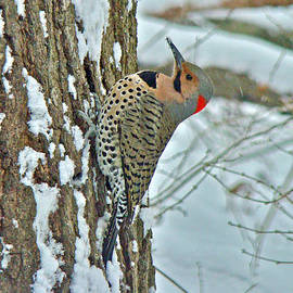 Mother Nature - Northern Yellow Shafted Flicker - Colaptes auratus