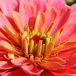Bruce Bley - Petals of Pink
