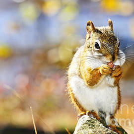 Red squirrel holding nut by Elena Elisseeva