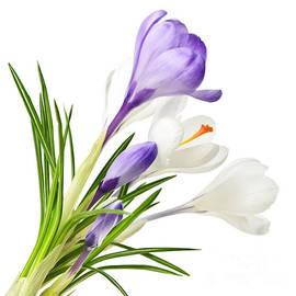 Spring Crocus Flowers by Elena Elisseeva
