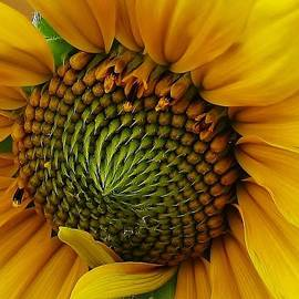 Sunflower Close Up by Bruce Bley