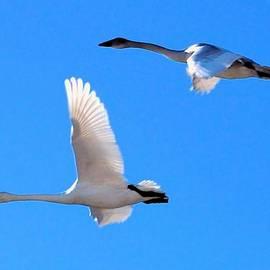 Don Mann - Swans on Blue Sky
