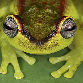 Tree Frog Hyla Rubracyla At Night by Thomas Marent