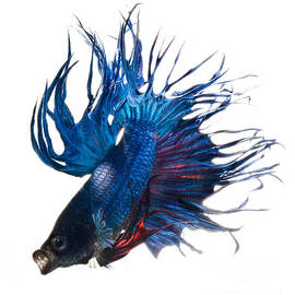 Betta Fish by Visarute Angkatavanich