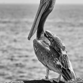 Eddie Yerkish - Pelican Portrait