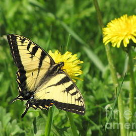 Francois Fournier - A Taste Of May Yellow Butterfly And Dandelions Fournier Quebec Canada