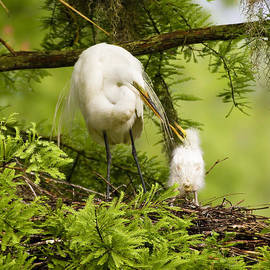A Tender Moment - Great Egret and Chick by Bill Swindaman