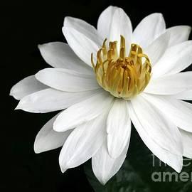 Sabrina L Ryan - A White Water Lily
