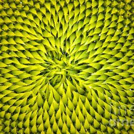 Benanne Stiens - Abstract Sunflower Pattern