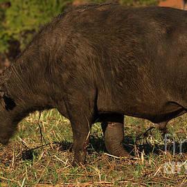 African Buffalo by Mareko Marciniak