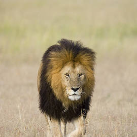 African Lion On The Savanna by Suzi Eszterhas