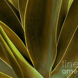Agave Blades in Macro by Mike Nellums