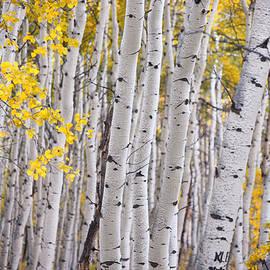 Among the Aspen Trunks by Carolyn Rauh