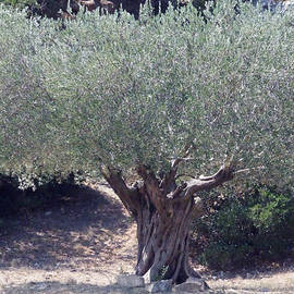 Colette V Hera  Guggenheim  - Ancient Old Olive Tree in South France