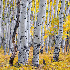Carolyn Rauh - Aspen Tree