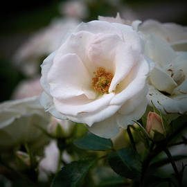 Aspirin rose by Jouko Lehto