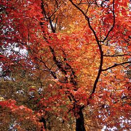Chris Brewington Photography LLC - Autumn Blaze Maple