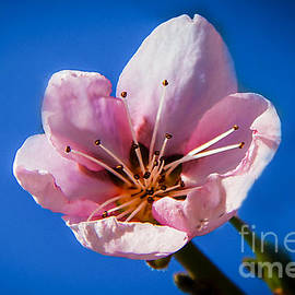 Baby Pink by Robert Bales