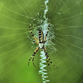 Deborah Benoit - Banana Spider With Web