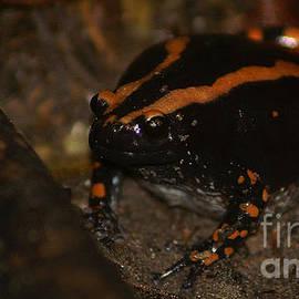 Banded Rubber Frog by Mareko Marciniak