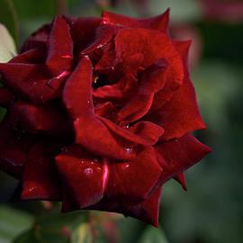 Barcarole rose by Jouko Lehto