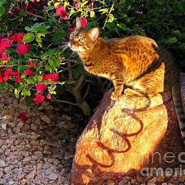 Phyllis Kaltenbach - Beautiful Bengal Cat