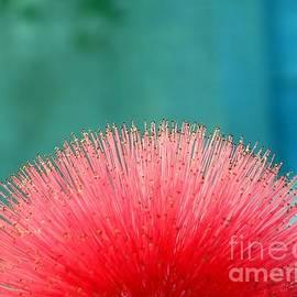 Yali Shi - Beautiful Blossom of Calliandra Haematocephala
