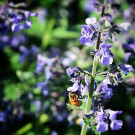 Bee In The Lilacs