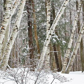Birches by Mary McAvoy