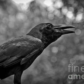 Stefan Olivier - Black Crow