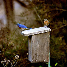 Todd Hostetter - Blue Birds