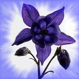Nick Kloepping - Blue Columbine