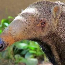 Lori Pessin Lafargue - Blue Nosed Anteater