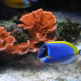 Blue Tang and Coral by DiDi Higginbotham