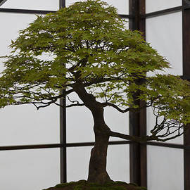 Bonsai by Maj Seda