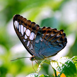 Peggy Franz - Bright Blue Butterfly