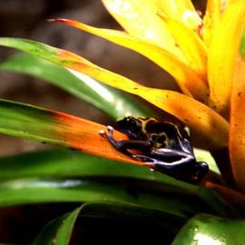 Bumble Bee Dart Frogs by J Vincent Scarpace