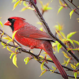 Bonnie Barry - Cardinal in Spring