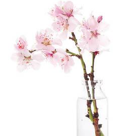 Cherry Blossom by Amanda Elwell