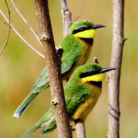 Pravine Chester - Cinammon-chested Bee-eater