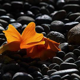 Clockvine Blossom 05/10/12 by Joe Schofield