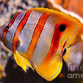 Copperband Butterfly Fish by Pravine Chester