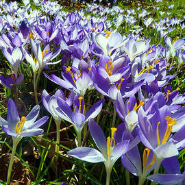 Crocuses by Janice Drew